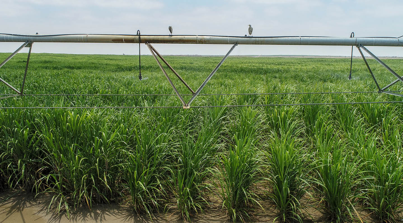 Sugarcane blog 2