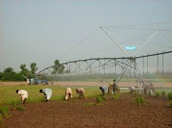 Rice farming in Pakistan