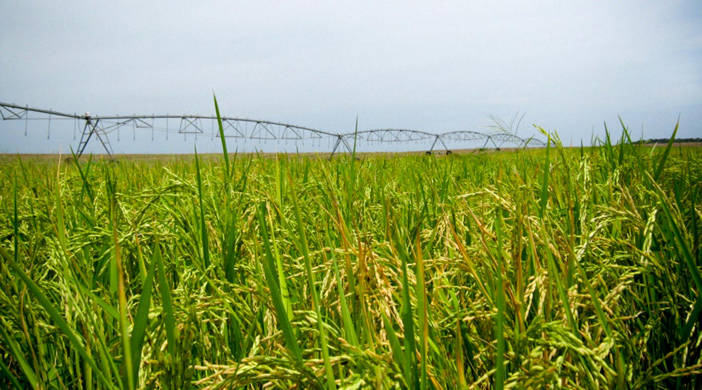 Rice Farming: Three Irrigation Tips to Keep in Mind for Your Crop